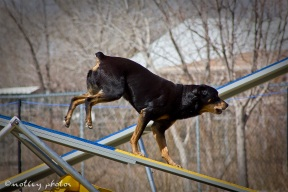 Agility Community Center_20120311_Rottweiler_teeter 01