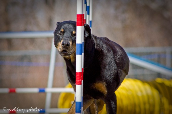 Agility Community Center_20120311_Rottweiler_weave poles 01