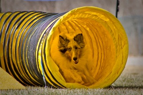 Agility Community Center_20120311_Sheltie_tunnel 01