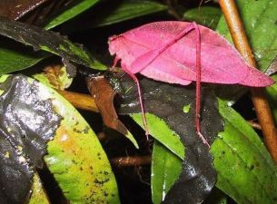 Rare pink Katydid 03