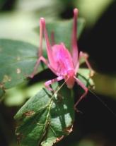 Rare pink Katydid 05