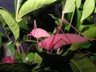 Rare pink Katydid 06