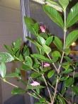 Rare pink Katydid 07