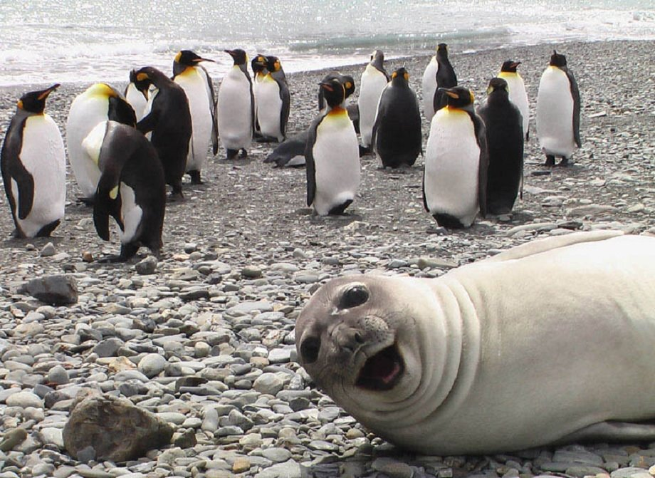 A seal with a goofy grin laying right in front of a cluster of penguins. He is clearly interrupting a uniform gathering of penguin, and looking very out of place with his cheesy grin!