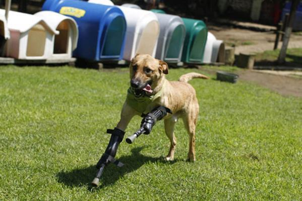Rescue dog fitted with prostetic legs