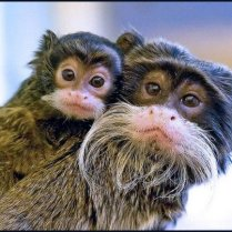 Adult primate with moustache like whiskers carrying baby primate with smaller version of whiskers