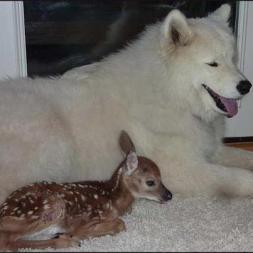 Baby deer next to Samoyed