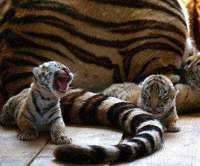 Baby tiger cubs