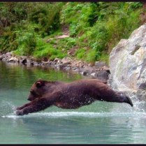 Bear diving into water