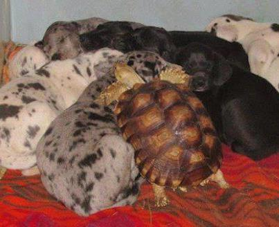 Big turtle laying with dogs