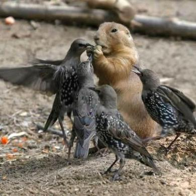 Birds trying to take food from prairie dog