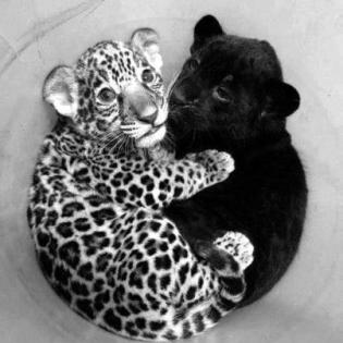Black panther and white leopard cubs