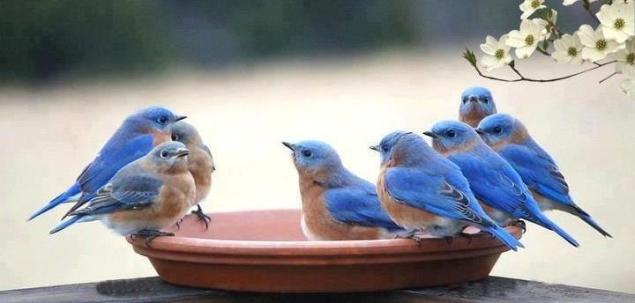 Bunch of blue birds at water dish