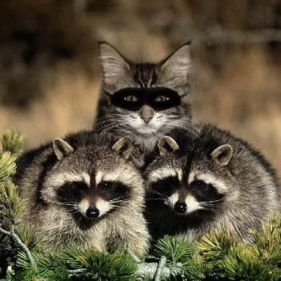 Cat incognito as a raccoon
