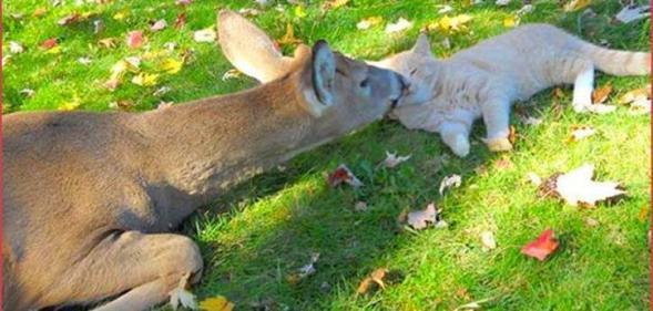 Deer kissing cat