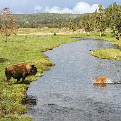 Dog running towards bison