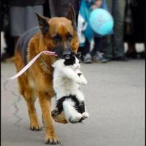 German Shepherd dog carrying cat by nape of neck