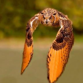 Great owl flying wings dipped down