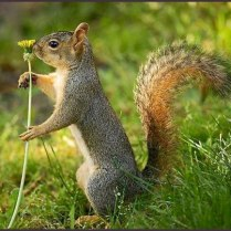 Grey squirrel smelling the flower