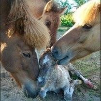 Horses licking newborn foal