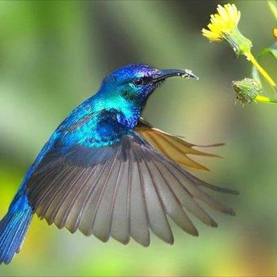 Iridescent blue hummingbird