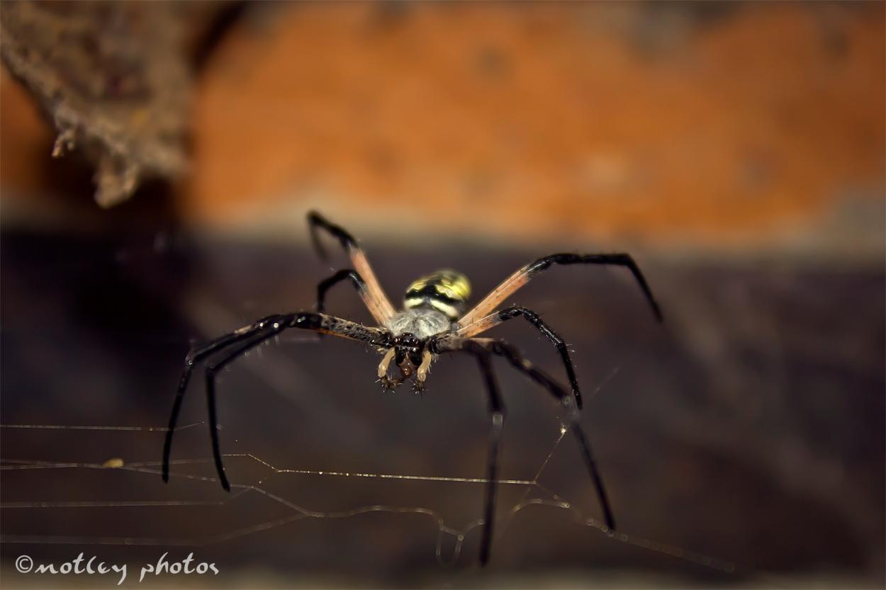 Large spider_black with white and yellow strips_seen in New Mexico 03