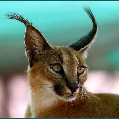 Lynx hair tufts at ends of ears