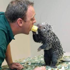Man feeding hedgehog corn cob from his mouth