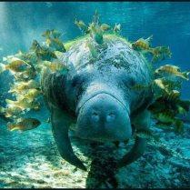 Manatee with tropical fish feeding the algae on it