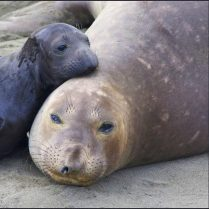 Mother and baby seal