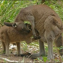 Mother kangaroo feeding juvenile roo