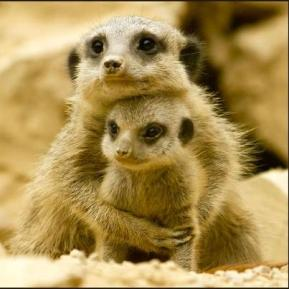 Mother merkat hugging baby
