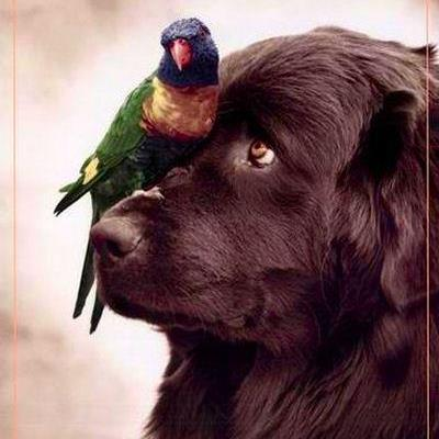 Newfoundland looking at parrot bird on it's nose