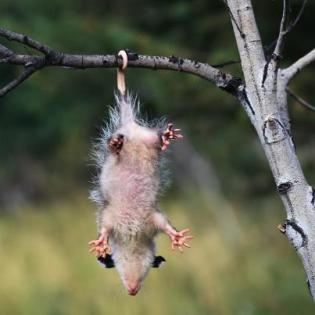 Opossum hanging by it's tail