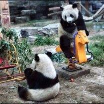 Pandas on playground toys