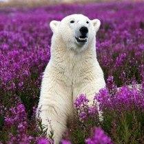 Polar bear in field of purple flowers