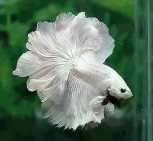 Pure white aquarium fish