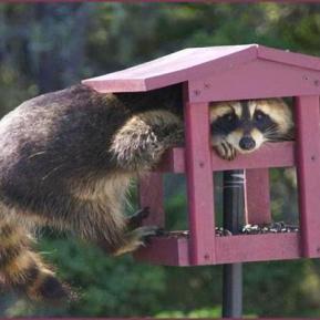 Raccoon caught in birdhouse