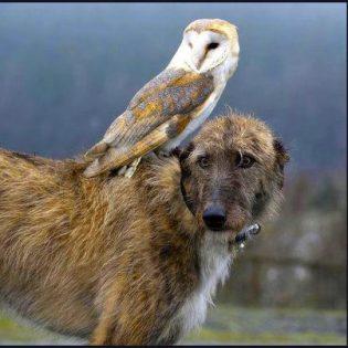 Scottish deerhound with owl on it's back