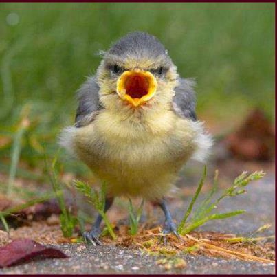 Screaming young bird