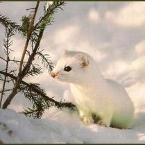 Snow white weasel or ferret