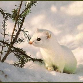 Snow white weasel or ferret
