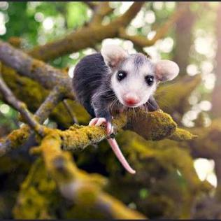 Some type of marsupial