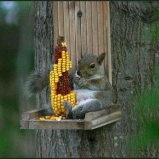 Squirrel kicking back eating corn fat squirrel