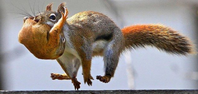 squirrel running and carrying baby squirrel