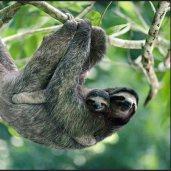 Three-toed sloth and baby