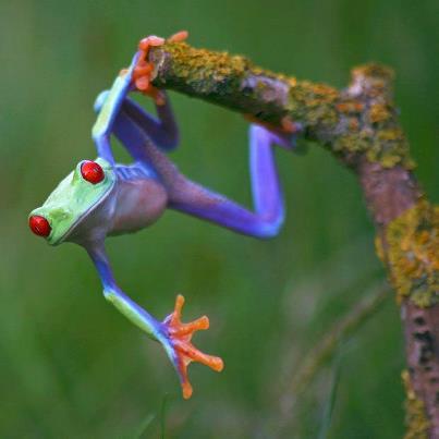 Vibrant purple green tree frog