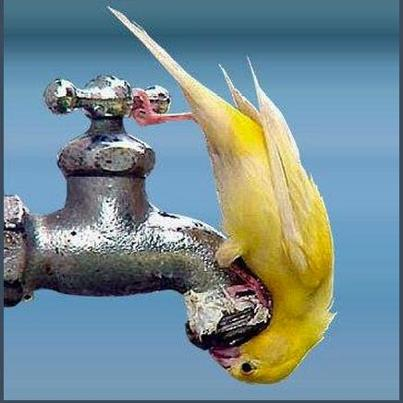 Yellow canary-like bird drinking water from outdoor spigot