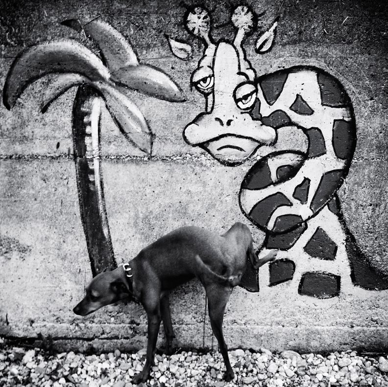 Dog pissing on wall art mural of giraffe