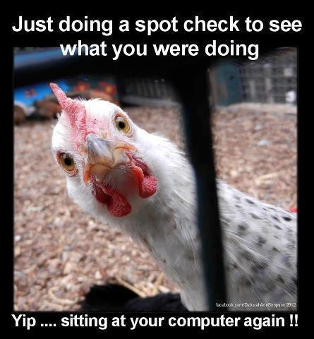 Chicken doing a spot check